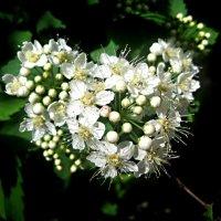 Пора цветения :: Елена Семигина