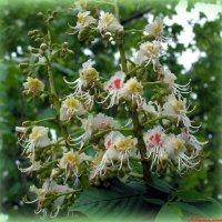 Пора цветения каштанов.. :: Андрей Заломленков