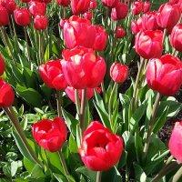 Тюльпаны цветут ! :: Наталья Владимировна