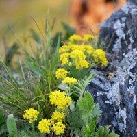 Жёлтые Цветочки... :: Дмитрий Петренко