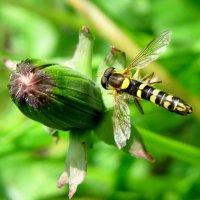 нектарная муха в поиске пыльцы :: Александр Прокудин
