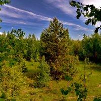 Сосна в лесу. :: Анатолий