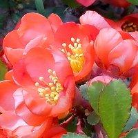 Японская айва в  цвету ! :: Виталий Селиванов