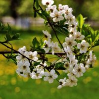 Цветение вишни :: Светлана
