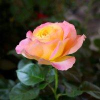 Чайная роза :: Дубовцев Евгений