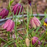 Рябчики цветут :: Michael Averkiev