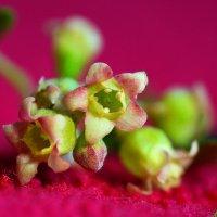 Про цветки смородины душистой.. :: Андрей Заломленков
