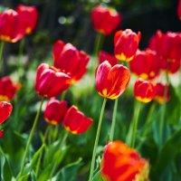 И знают все страны, Об этом поют: Всегда всем тюльпаны Счастье несут! :: Сергей Адигамов