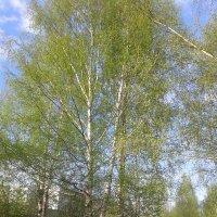 Берёзок листва молодая... :: BoxerMak Mak