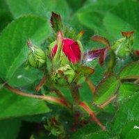 Бутон розы и тополиный пух...) :: Любовь К.