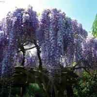 Парк цветов в мае (серия). Роскошное цветение глицинии :: Nina Yudicheva