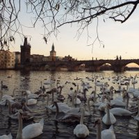 Лебеди на Влтаве :: Анна Ватолина