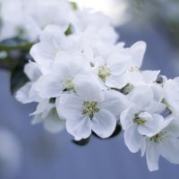 Яблони в цвету :: Tatiana Neko