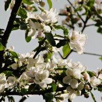 Цветы яблони :: Шура Еремеева