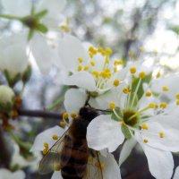 Пчела на цветущем дереве абрикос :: Татьяна Королёва