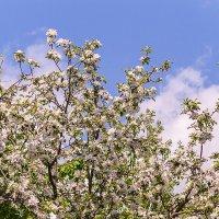 Цветущее дерево :: Галина Шляховая