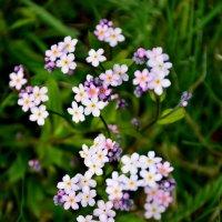 незабудки цветут  чуть сиреневатые :: Валентина Папилова