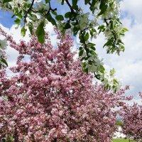 Весеннее цветение... :: Лариса Корженевская