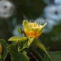 Тюльпанное дерево :: Павел Руденко