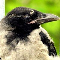 Молодая ворона 3 :: Сергей