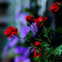Первые розы :: Юрий Гайворонский