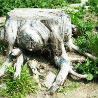 Старый пень в Никитском ботаническом саду :: татьяна