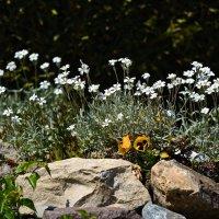 И на камнях растут цветы ... :: Владимир Икомацких