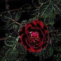 Грёзы красной розы :: Нина Корешкова