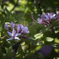 Рододендроны цветут. :: Svetlana