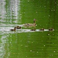 Всё больше утиных выводков появляется на озере :: Маргарита Батырева
