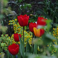 Тюльпаны :: Татьяна Васильева