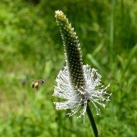 Пчёлка :: Виктор Шандыбин