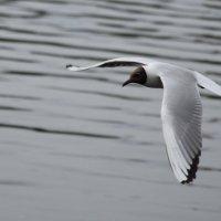 Чайка, просто чайка :: Катерина Клаура