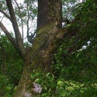 Старое дерево и ветка распустившейся сирени :: Лада Петрова