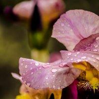 Ирис после дождя :: Олег Брусенцев