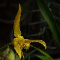 орхидеи цветут :: Лариса *