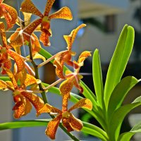 Тропическая орхидея :: Дмитрий Боргер