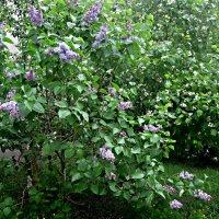Когда цветут сады :: Елена Семигина