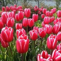 Тюльпаны, тюльпаны, тюльпаны - красавцы весёлого мая ! :: Наталья Денисова