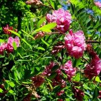 Розовая акация :: Нина Бутко