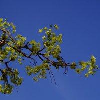 Клён цветет :: Andrad59 -----
