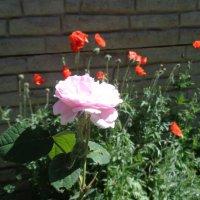 Розы без шипов - синоним недостижимого счастья!... :: Алекс Аро Аро