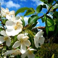 Яблони белый цвет душистый :: Наталья Пендюк Пендюк