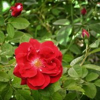 Роза вьющаяся. :: *MIRA* **