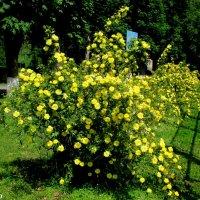 Майские розы в парке Октября :: Нина Бутко