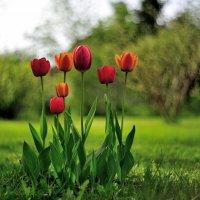 Тюльпаны :: Андрей Вестмит