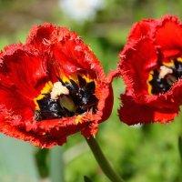 Алые тюльпаны. :: Paparazzi