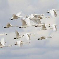 Лебеди-кликуны :: Александр Новожилов