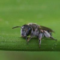 Пчела-альбинос :: Артур Миханев