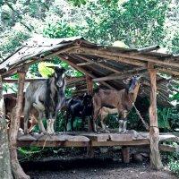 Скотный двор в джунглях :: Alexander Dementev